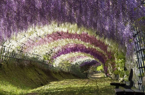 Túnel de Glicínias, Japão
