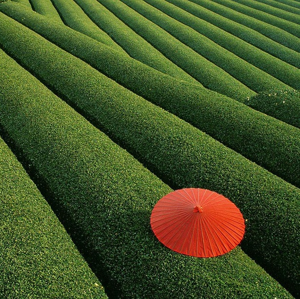 Campos de Chá, China