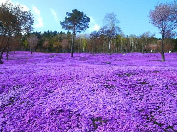 Flores de Rosa de Musgo - Takinoue Park, Japão