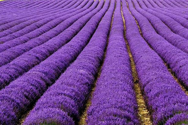 Campos de Lavanda, Reino Unido/França