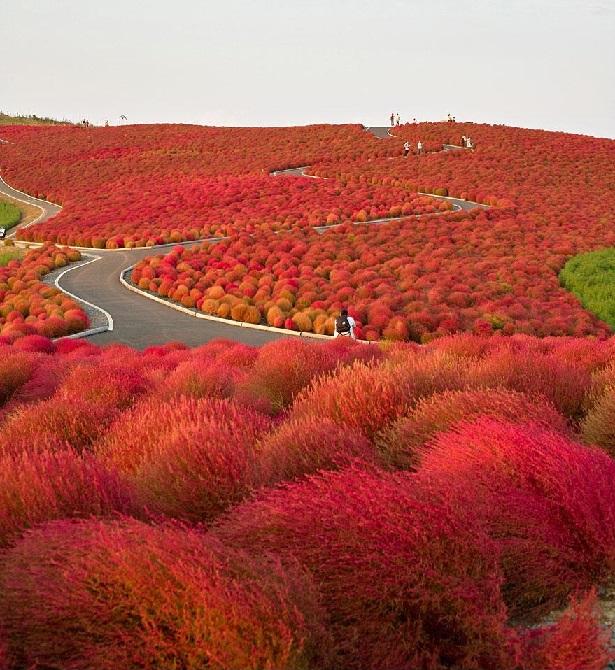 Parque de Flores - Hitachi Seaside Park, Japão
