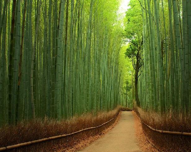 Floresta de Bambus, Japão