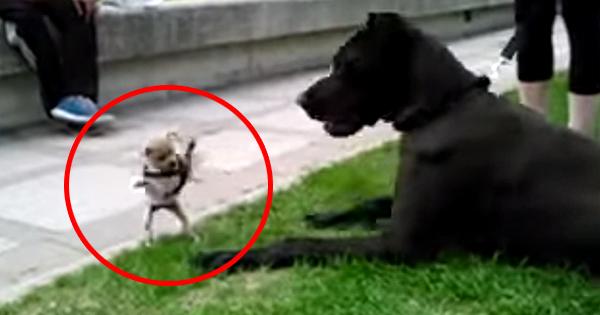 Um Cão Minúsculo Se Depara Com O Cão Gigante Dane. O Que Acontece Em Seguida Não Tem Preço!