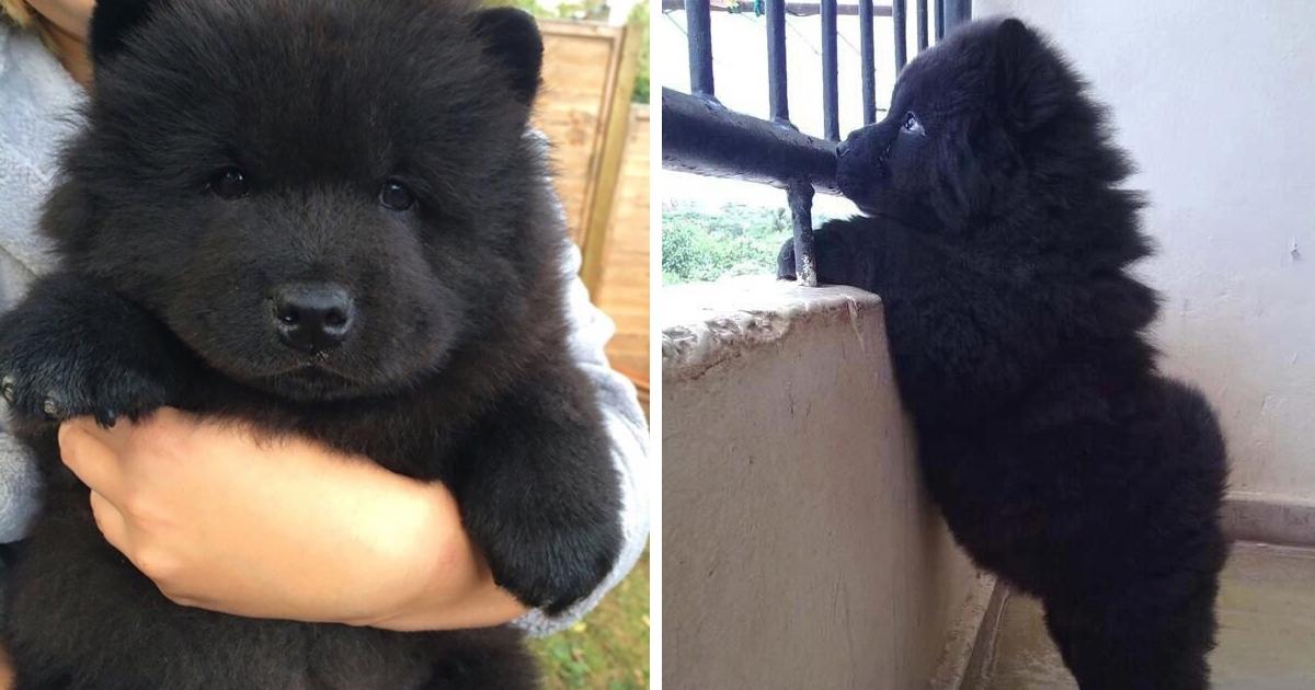 Os 17 Filhotes De Cachorro Que Mais Se Parecem Com Ursinhos De Pelúcia