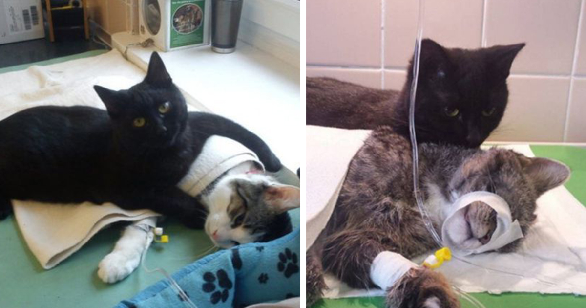A Incrível História Do Gato Enfermeiro Que Cuida De Outros Animais Na Clínica Veterinária