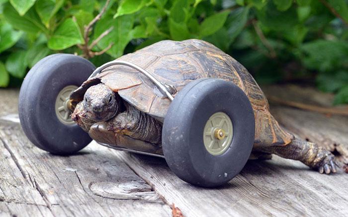 A Tartaruga de 90 Anos Que Teve As Patas Comidas Por Ratos E Graças A Próteses É Capaz De Andar Duas Vezes Mais Rápido