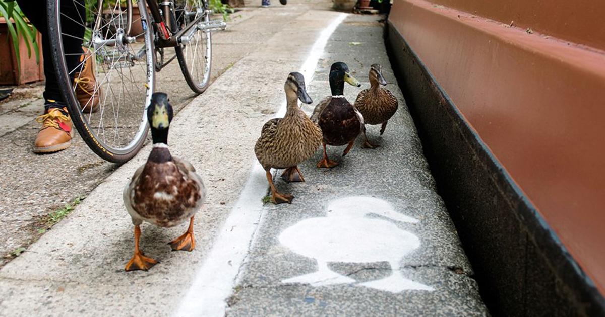 Ciclovias Que Nada, A Inglaterra Inovou E Criou Vias Só Para Patos.