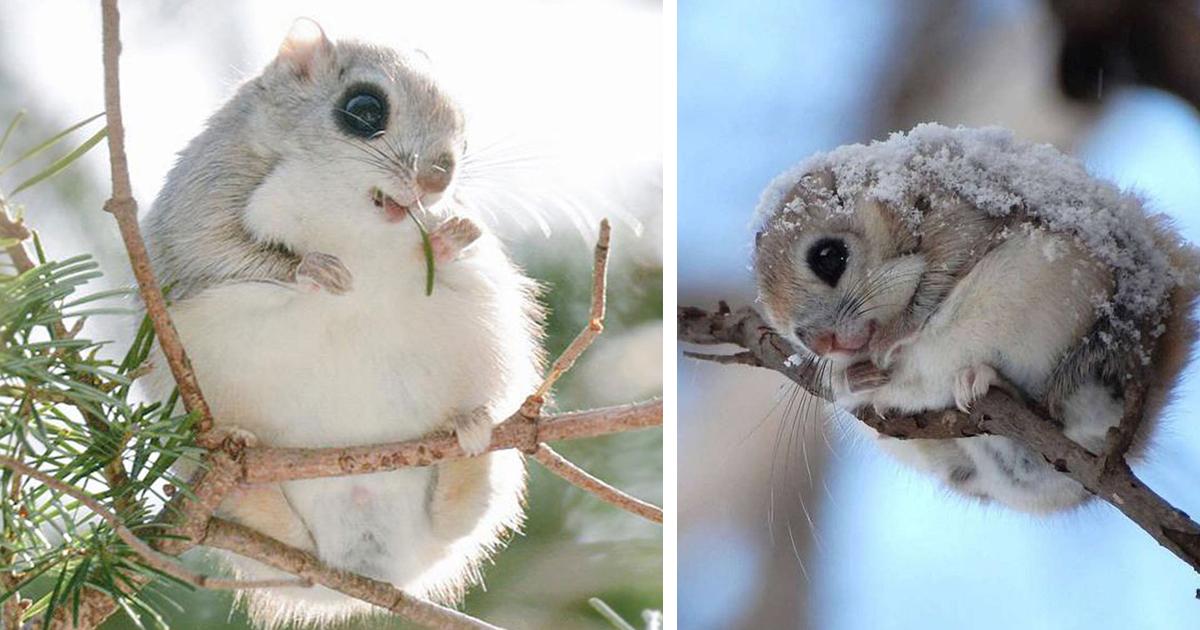 Os Esquilos Voadores Do Japão E Da Sibéria São Provavelmente Os Animais Mais Fofos Da Terra