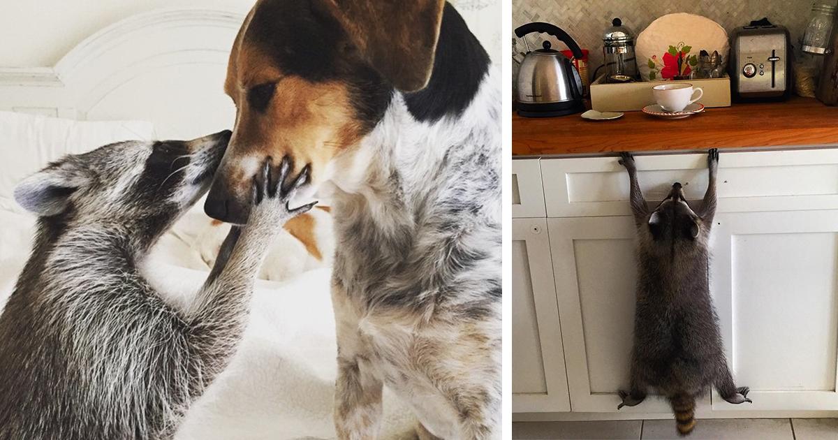Guaxinim Resgatado Por Família Pensa Que É Um Cão