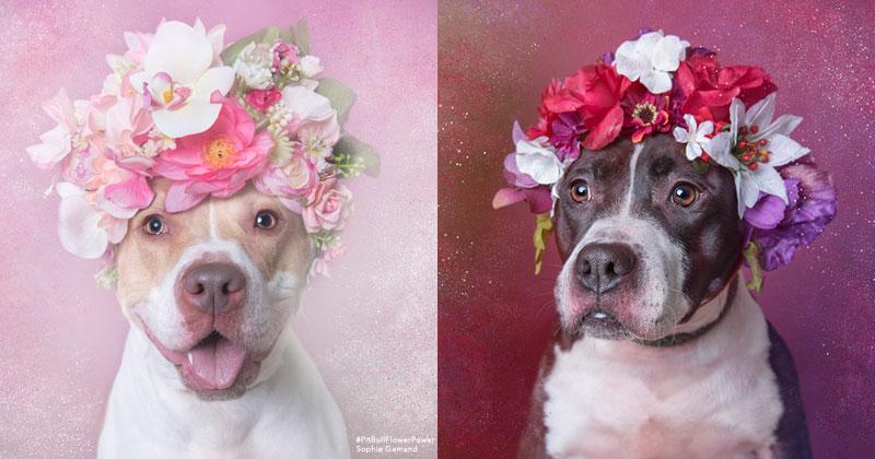 Retratos Adoráveis De Pitbulls Esperando Serem Adotados