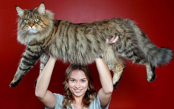 16-gatos-enormes-que-irao-fazer-o-seu-gato-parecer-minusculo-10