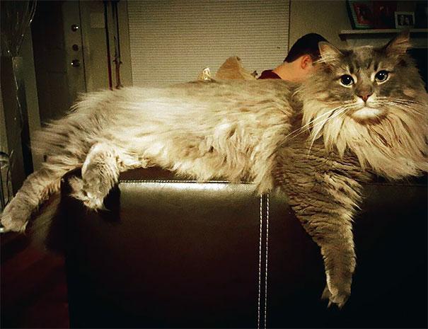16-gatos-enormes-que-irao-fazer-o-seu-gato-parecer-minusculo-11