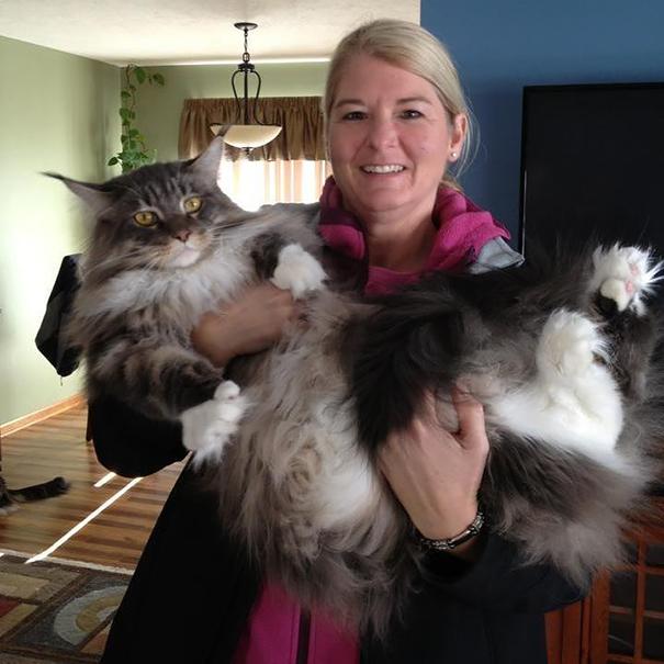 16-gatos-enormes-que-irao-fazer-o-seu-gato-parecer-minusculo-12