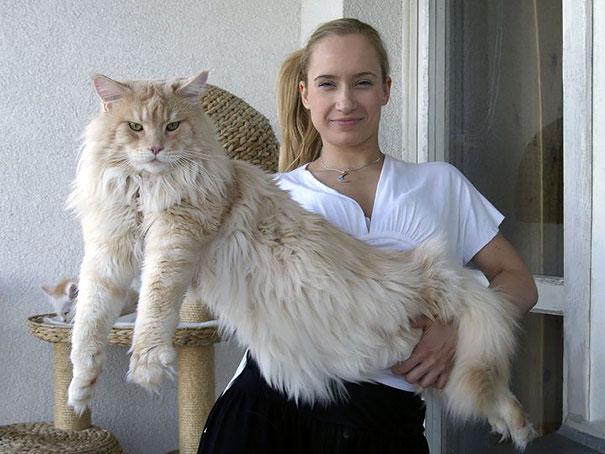 16-gatos-enormes-que-irao-fazer-o-seu-gato-parecer-minusculo-13