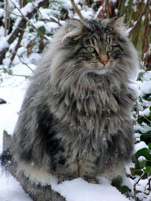16-gatos-enormes-que-irao-fazer-o-seu-gato-parecer-minusculo-2