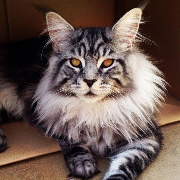16-gatos-enormes-que-irao-fazer-o-seu-gato-parecer-minusculo-3