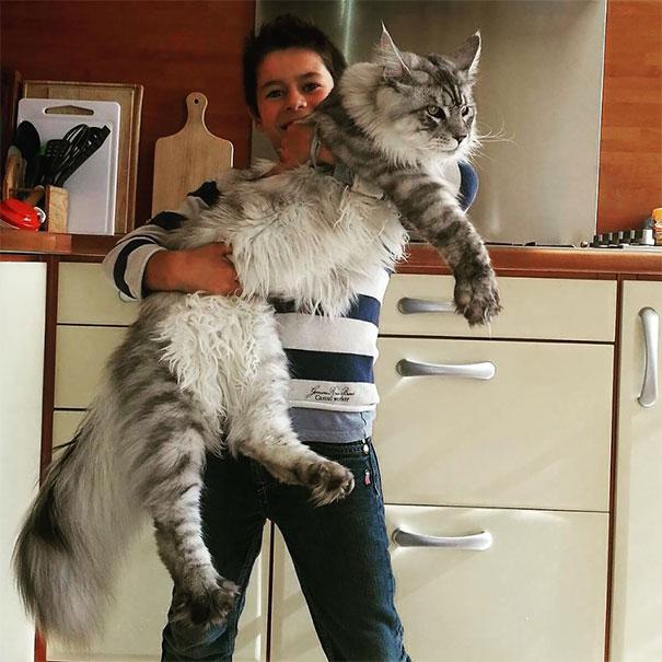 16-gatos-enormes-que-irao-fazer-o-seu-gato-parecer-minusculo-1