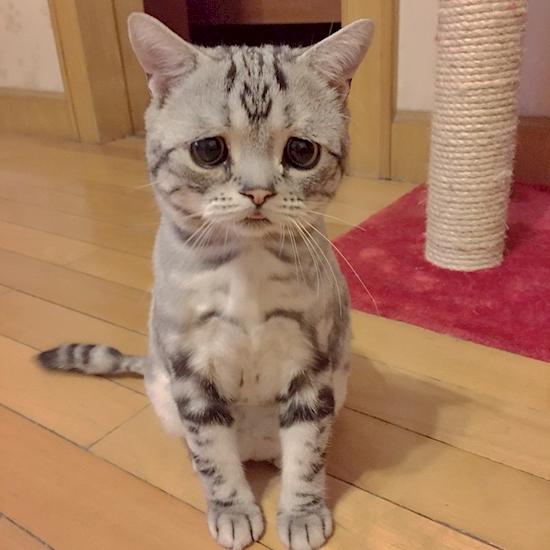 nova-sensacao-da-internet-o-gato-mais-triste-do-mundo-5