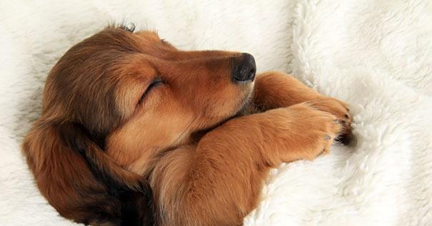 20 Cães Absurdamente Fofos Que Roubaram As Camas De Seus Donos