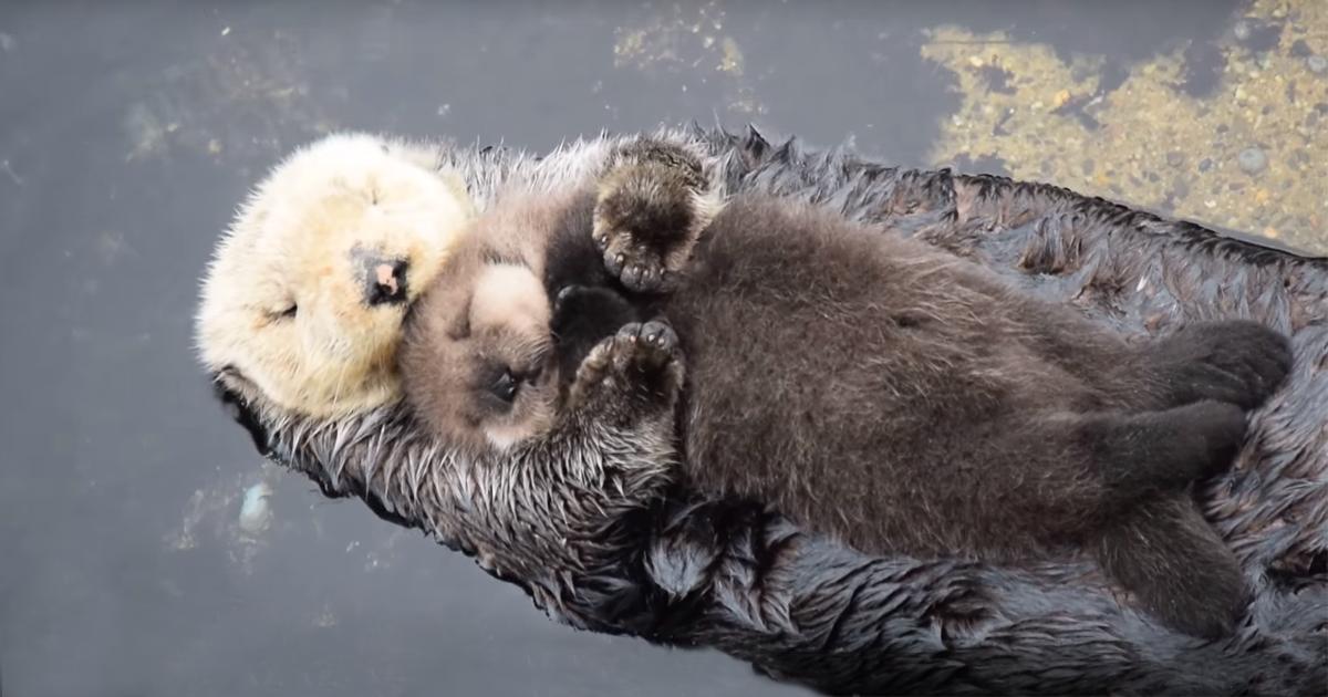 Filhote De Lontra De Um Dia De Vida Dorme Na Barriga Da Mãe Na Água