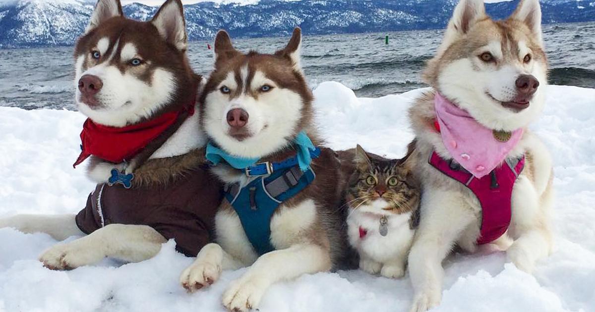 3 Huskies Tornaram-Se Os Melhores Amigos De Um Gato Após Salvá-Lo Da Morte