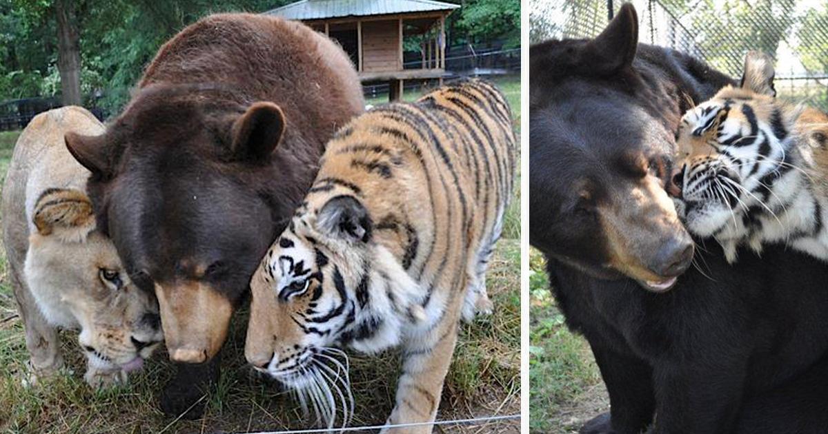 Urso, Leão E Tigre São Irmãos Inseparáveis Há 15 Anos