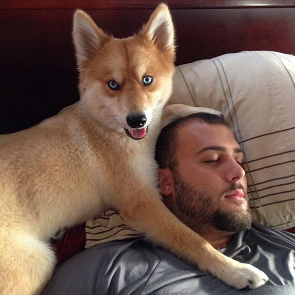 Conheça A Cadela Mya Uma Mistura De Lulu Da Pomerânia E Husky