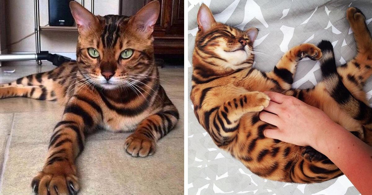 Conheça Thor, O Gato-De-Bengala Com O Pêlo Perfeitamente Maravilhoso