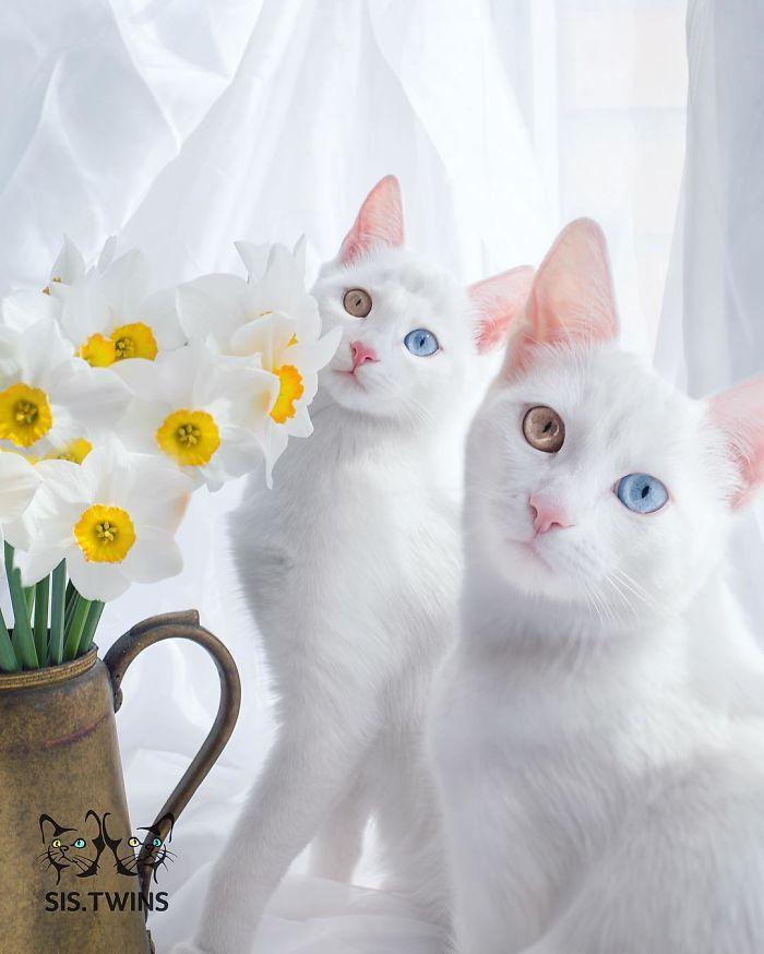 gatos-gemeos-mais-bonitos-do-mundo-1
