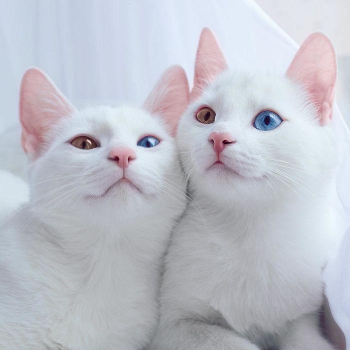 gatos-gemeos-mais-bonitos-do-mundo-2