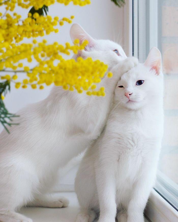 gatos-gemeos-mais-bonitos-do-mundo-4