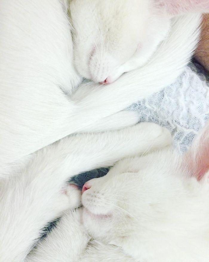 gatos-gemeos-mais-bonitos-do-mundo-5