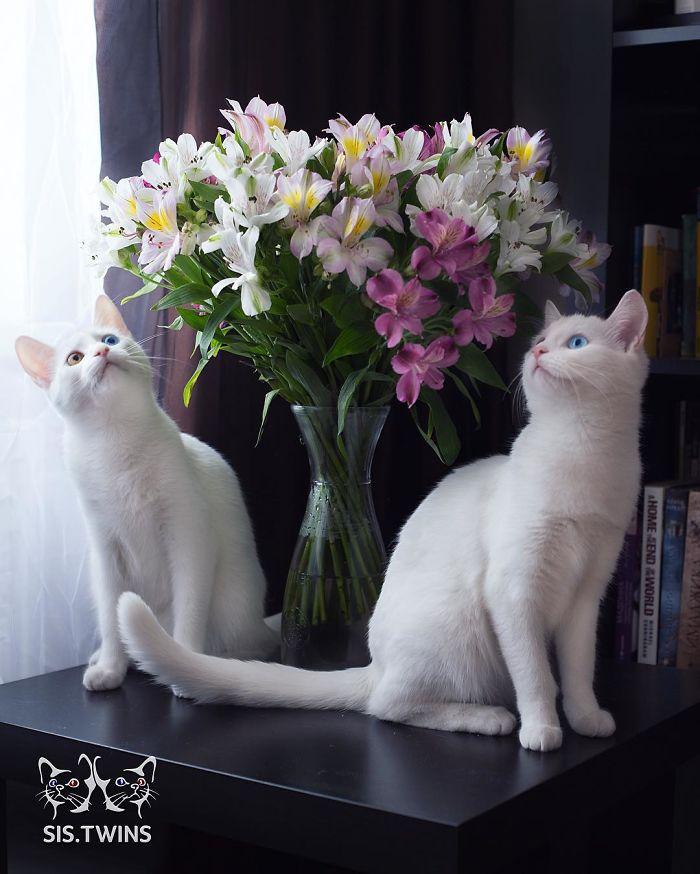 gatos-gemeos-mais-bonitos-do-mundo-6