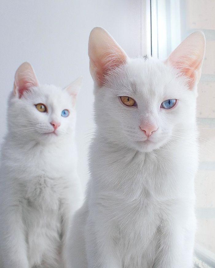 gatos-gemeos-mais-bonitos-do-mundo-7