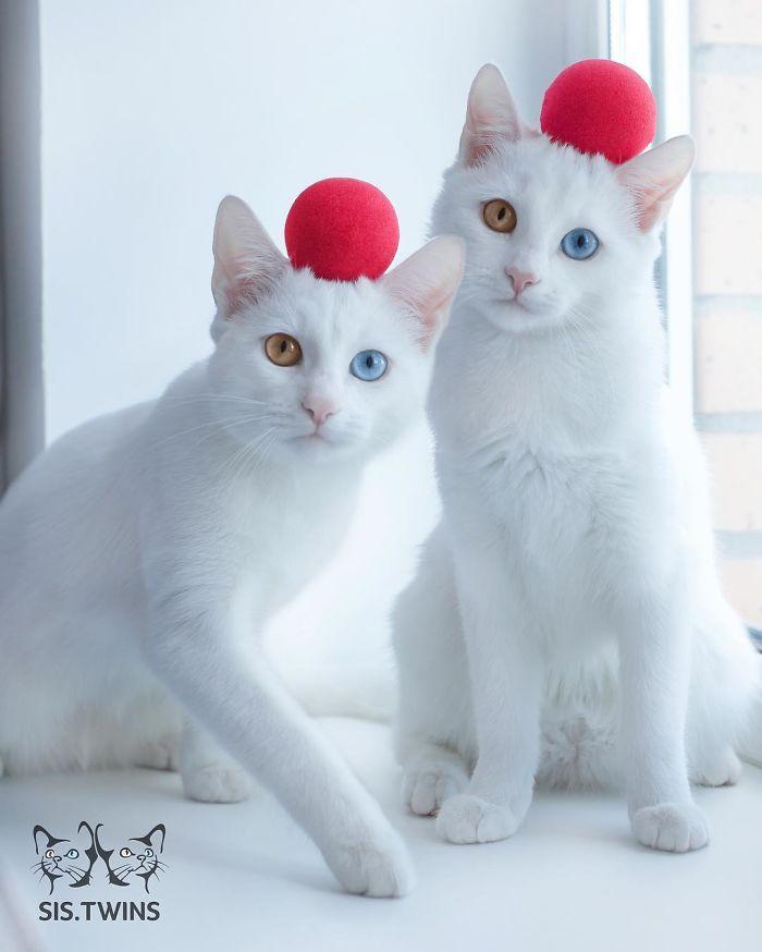 gatos-gemeos-mais-bonitos-do-mundo-9
