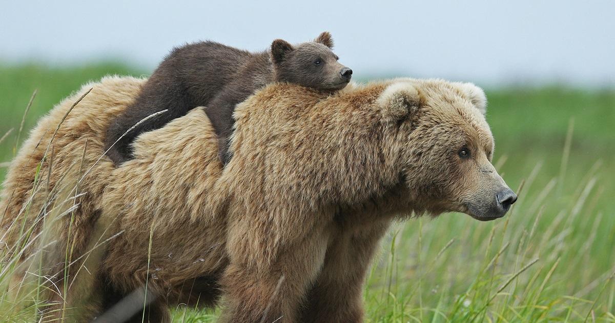 15 Mães Ursas Insuportavelmente Fofas Ensinando Seus Filhotes Como Ser Um Urso
