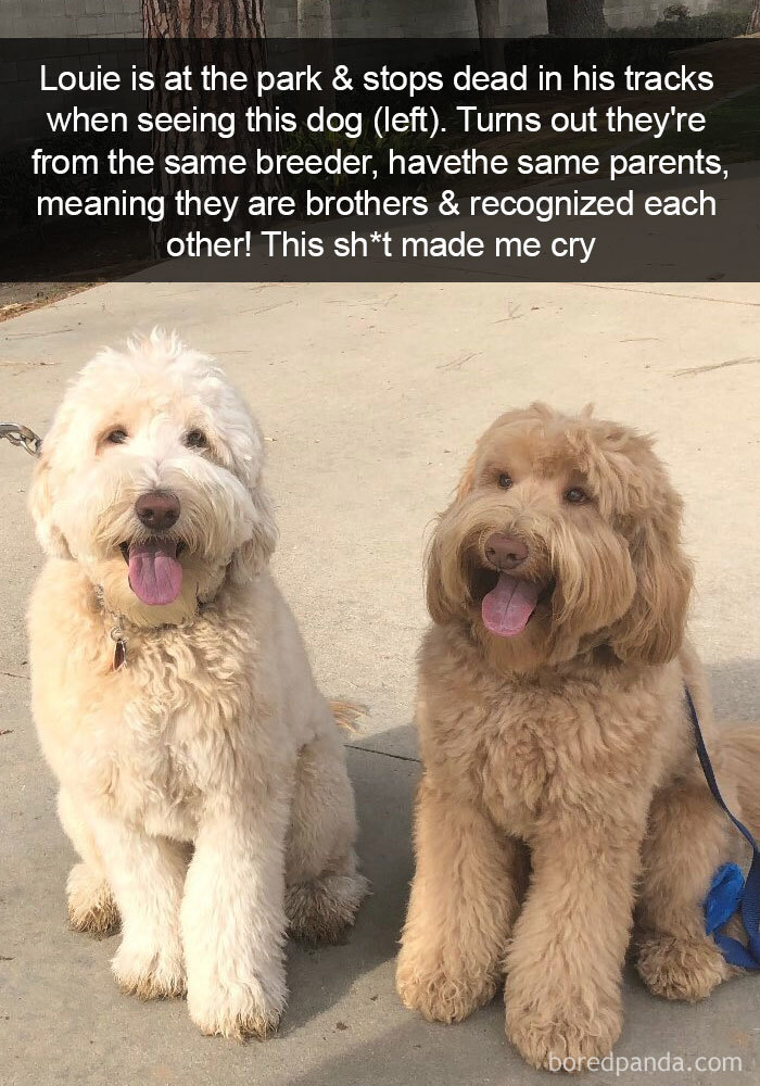 Louie Is At The Park & Stops Dead In His Tracks When Seeing This Dog (Left). Turns Out They're From The Same Breeder, Have The Same Parents, Meaning They Are Brothers & Recognized Each Other! This Sh*t Made Me Cry