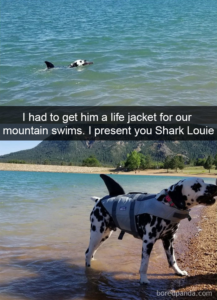 This Hunk Will Swim Past The Point Of Exhaustion, So I Had To Get Him A Life Jacket For Our Mountain Swims. I Present You Shark Louie