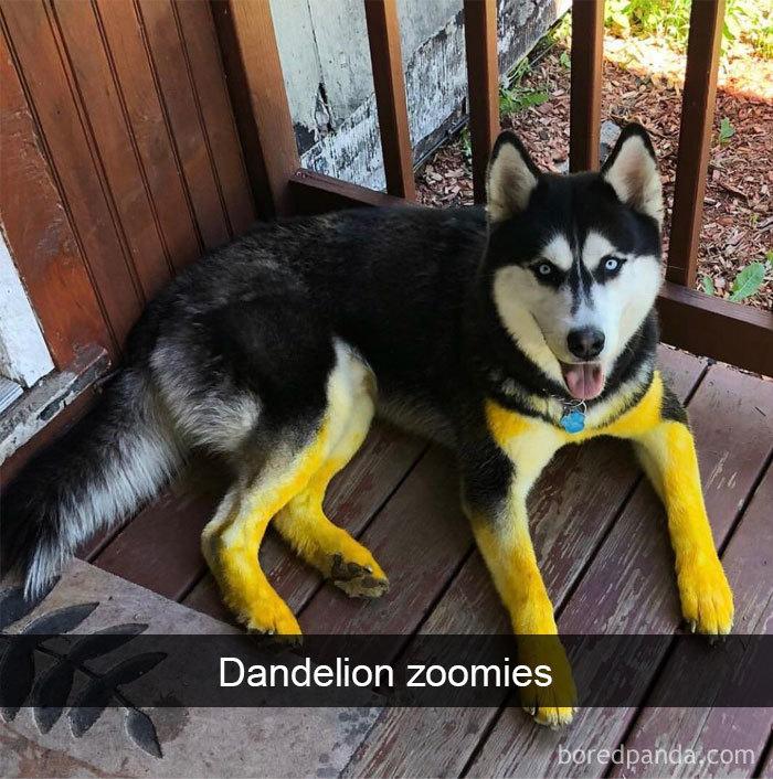 Dandelion Zoomies