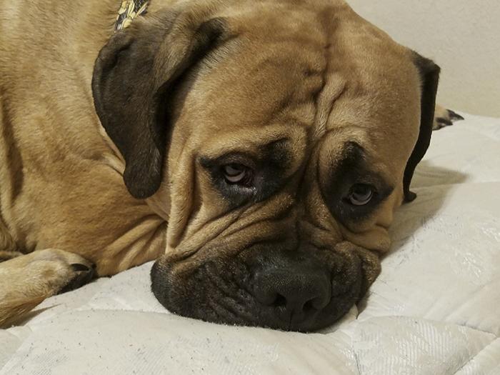 Veja o que você deve fazer se um cão de serviço se aproximar de você sem o dono