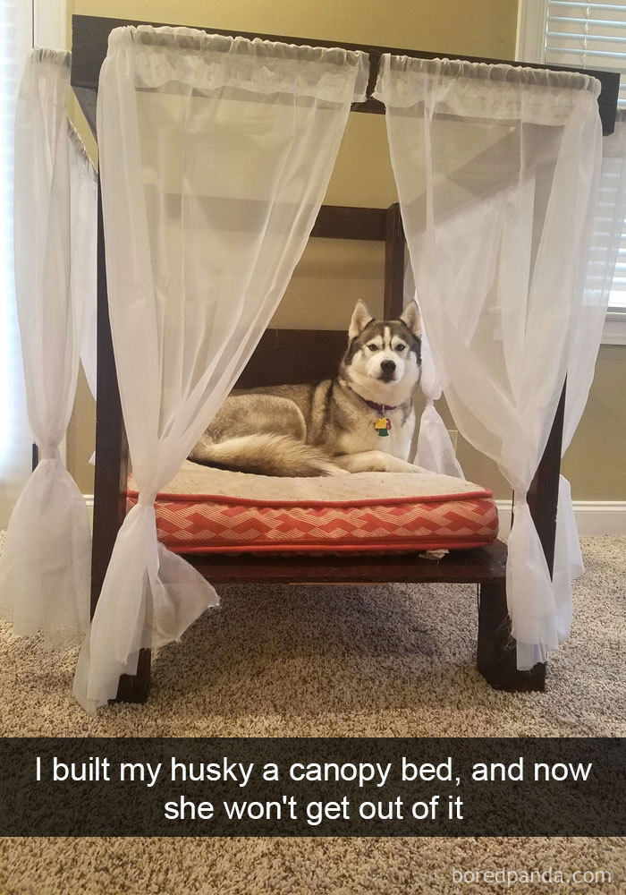 I Build My Husky A Canopy Bed, And Now She Won't Get Out Of It