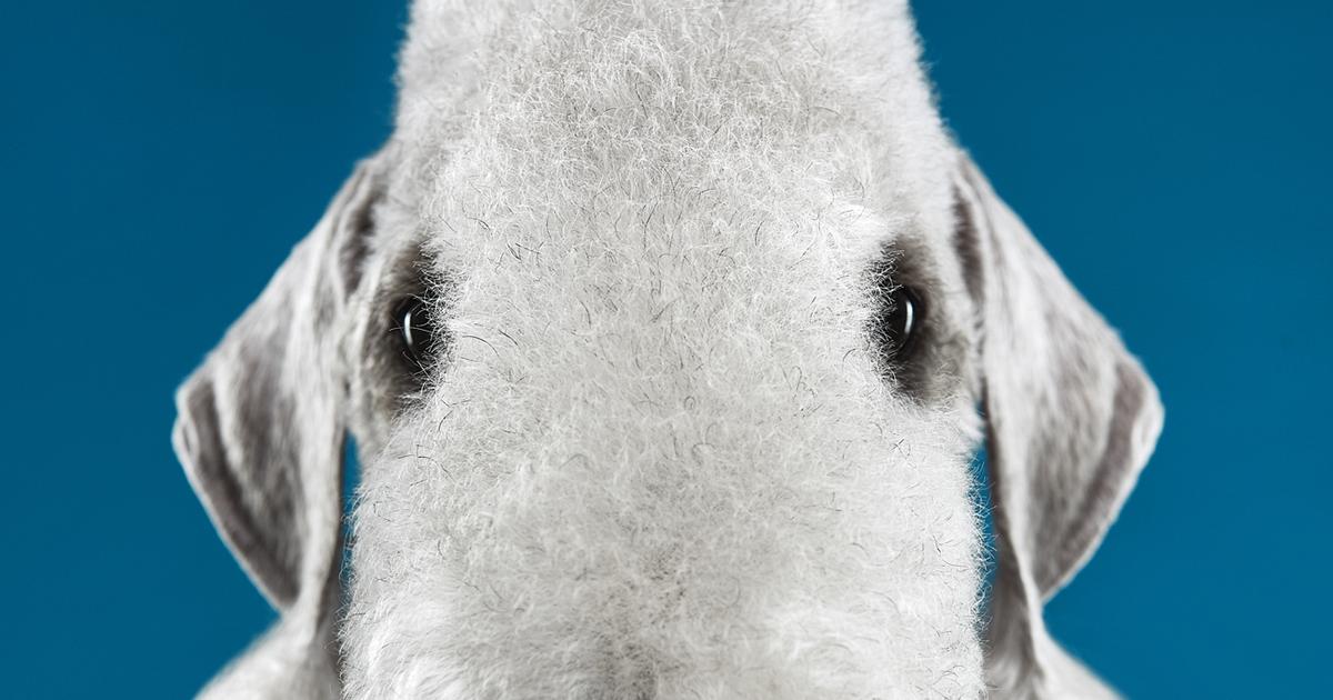 Explore o incrível mundo das raças de cães através da nossa série de retratos expressivos