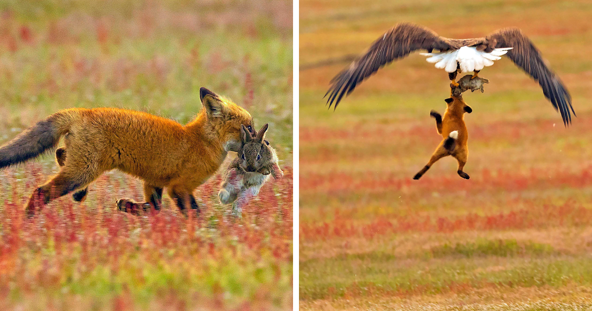Fotógrafo registra batalha épica entre raposa e águia sobre coelho, e fica cada vez mais  épico com cada foto