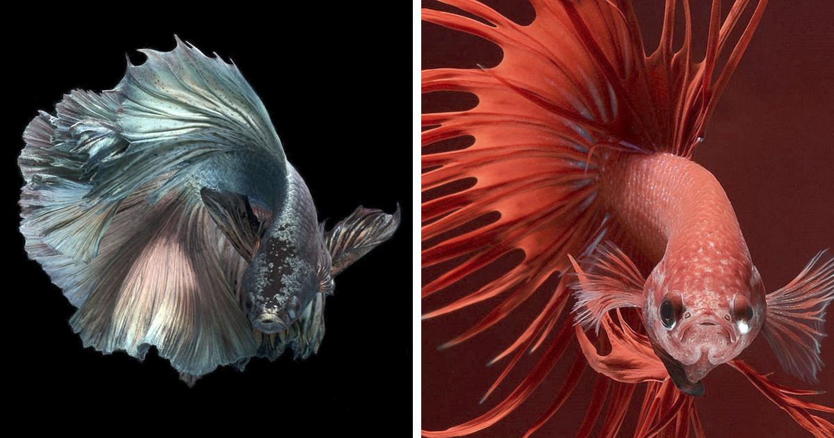 A elegância de peixes coloridos capturados por um fotógrafo tailandês