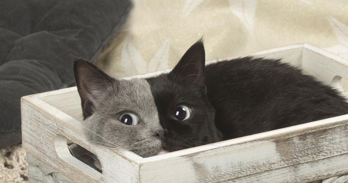 """Este raro gatinho nascido com """"duas caras"""" cresceu para se tornar o gato mais bonito de todos os tempos"""