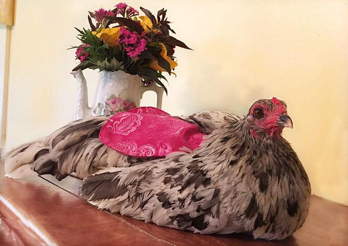 Esta mulher criou um negócio de muito sucesso produzindo fraldas para galinhas