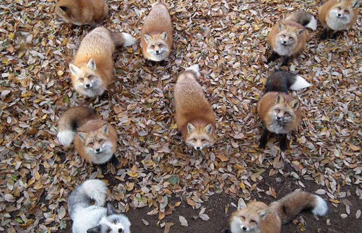 Você pode alimentar uma raposa no Zao Fox Village, um parque natural habitado por várias espécies de raposas selvagens