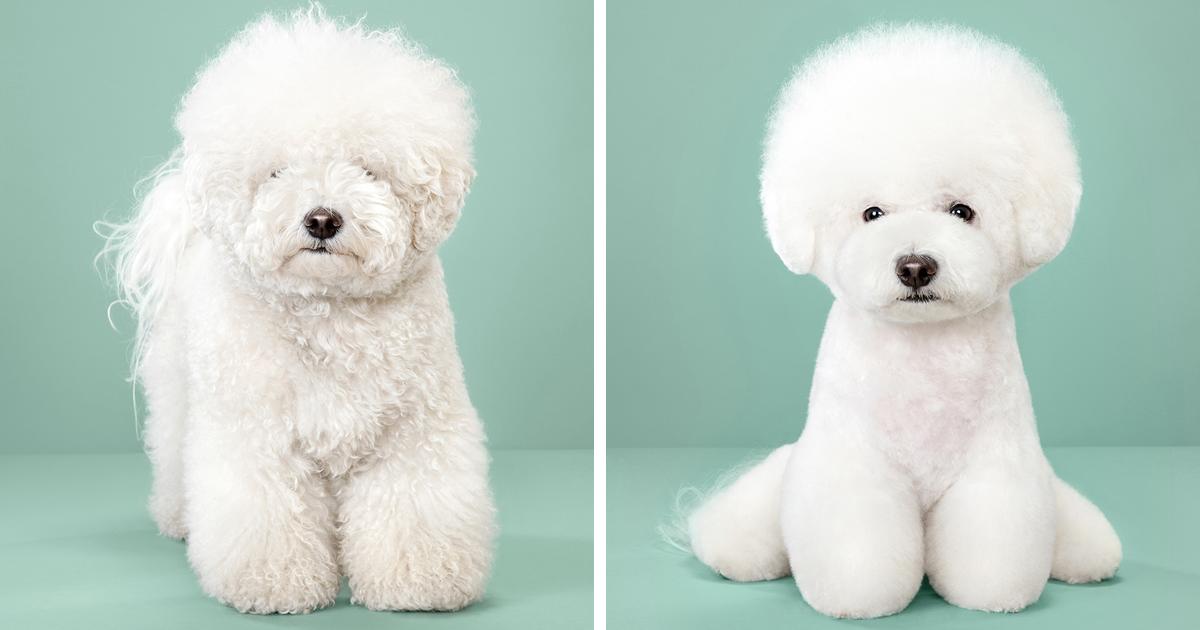 7 cães antes e depois da tosa japonesa. Absurdamente fofos!