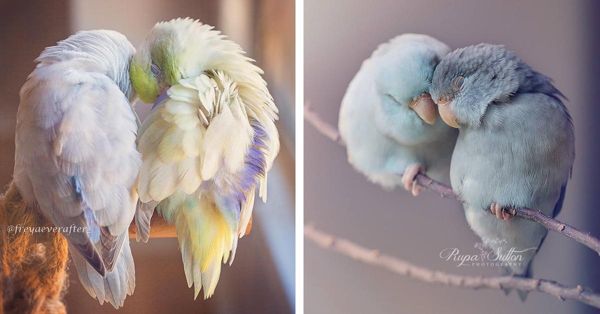 Fotos adoráveis capturam o amor de conto de fadas entre pássaros desta espécie