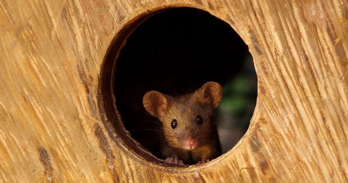 Homem descobre família de ratos vivendo em seu jardim, e constrói vila em miniatura pra eles